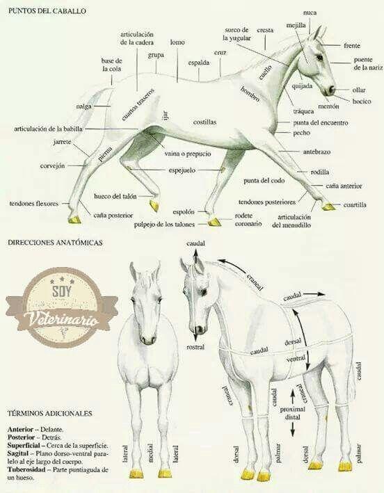 Regiones anatómicas en el caballo | Un poco d Anatomía Equina ...