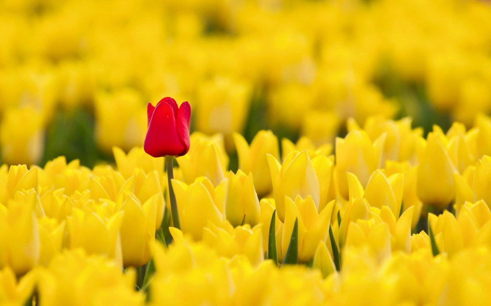 red and yellow tulips hd wallpaper Tulips Flowers HD