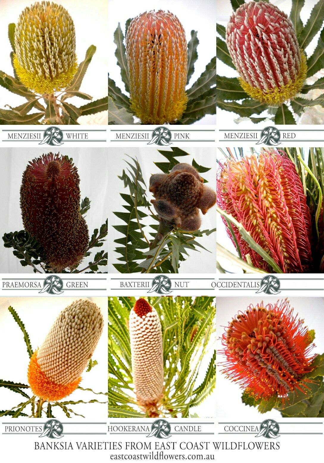 Nine of our most popular banksia varieties that we grow and