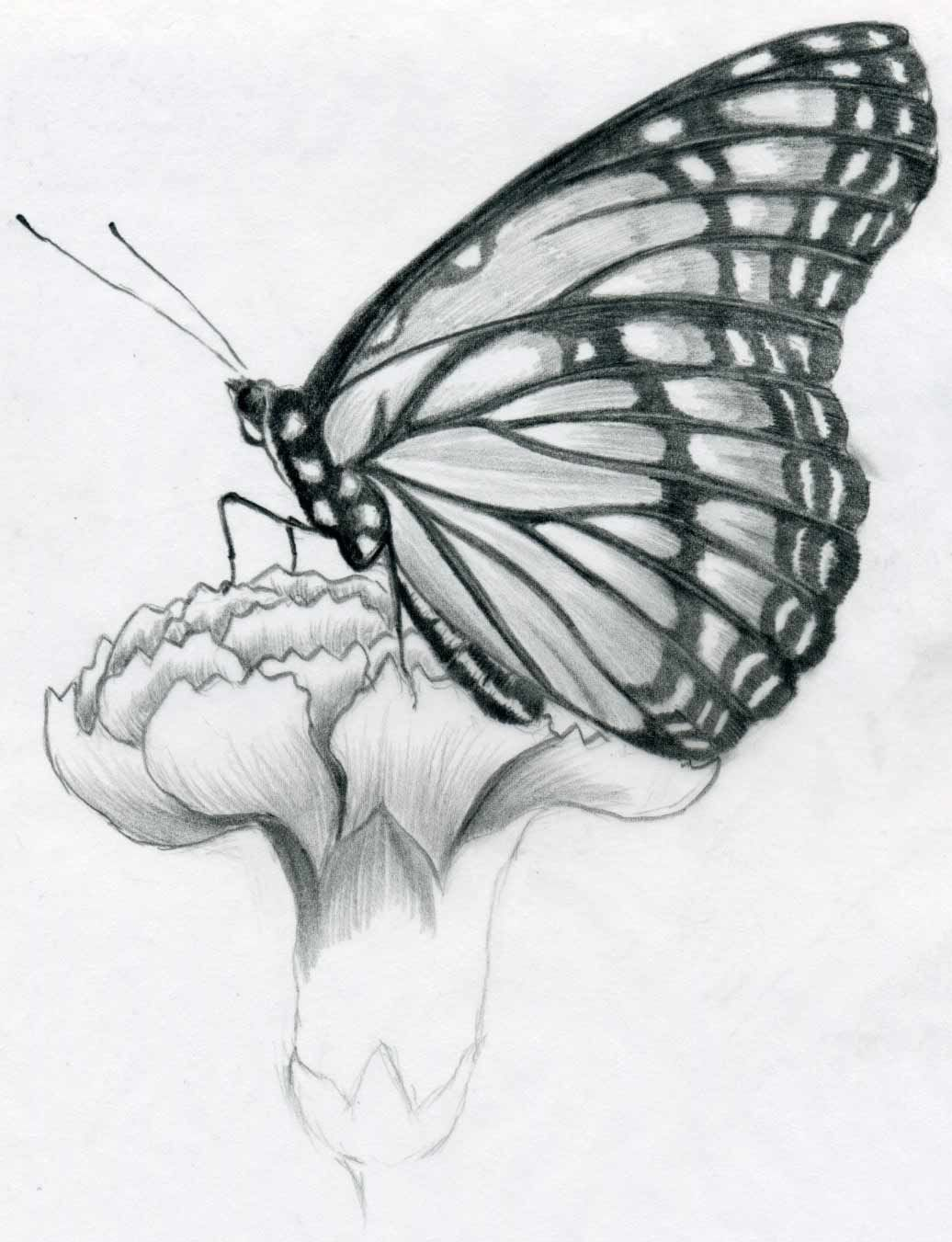 Black and white pencil sketches now observe and select first the darkest black parts on the wings and