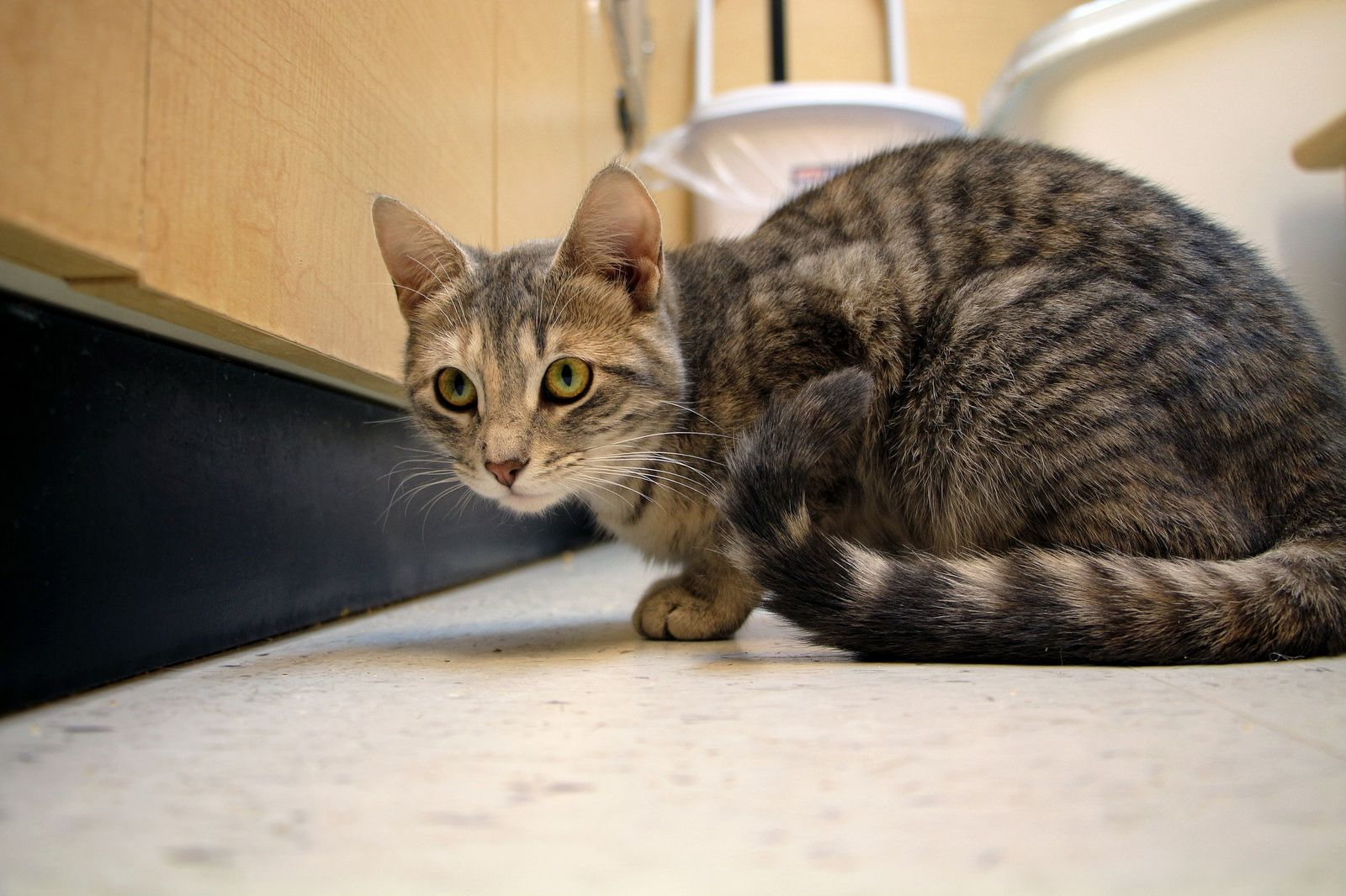 Felicity Scat Petsmart Adoption Centre Cat Photo Cat Adoption Adoption Center