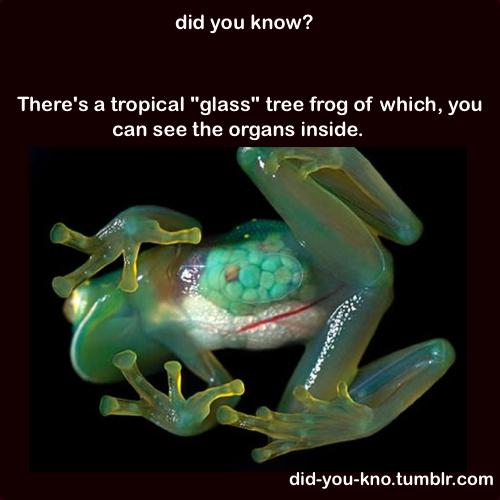 Tropical glass tree frog