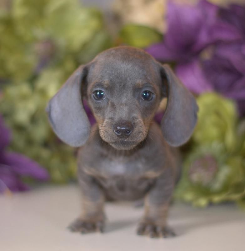 Dachshund Puppies For Sale Miniature Puppy Down Home