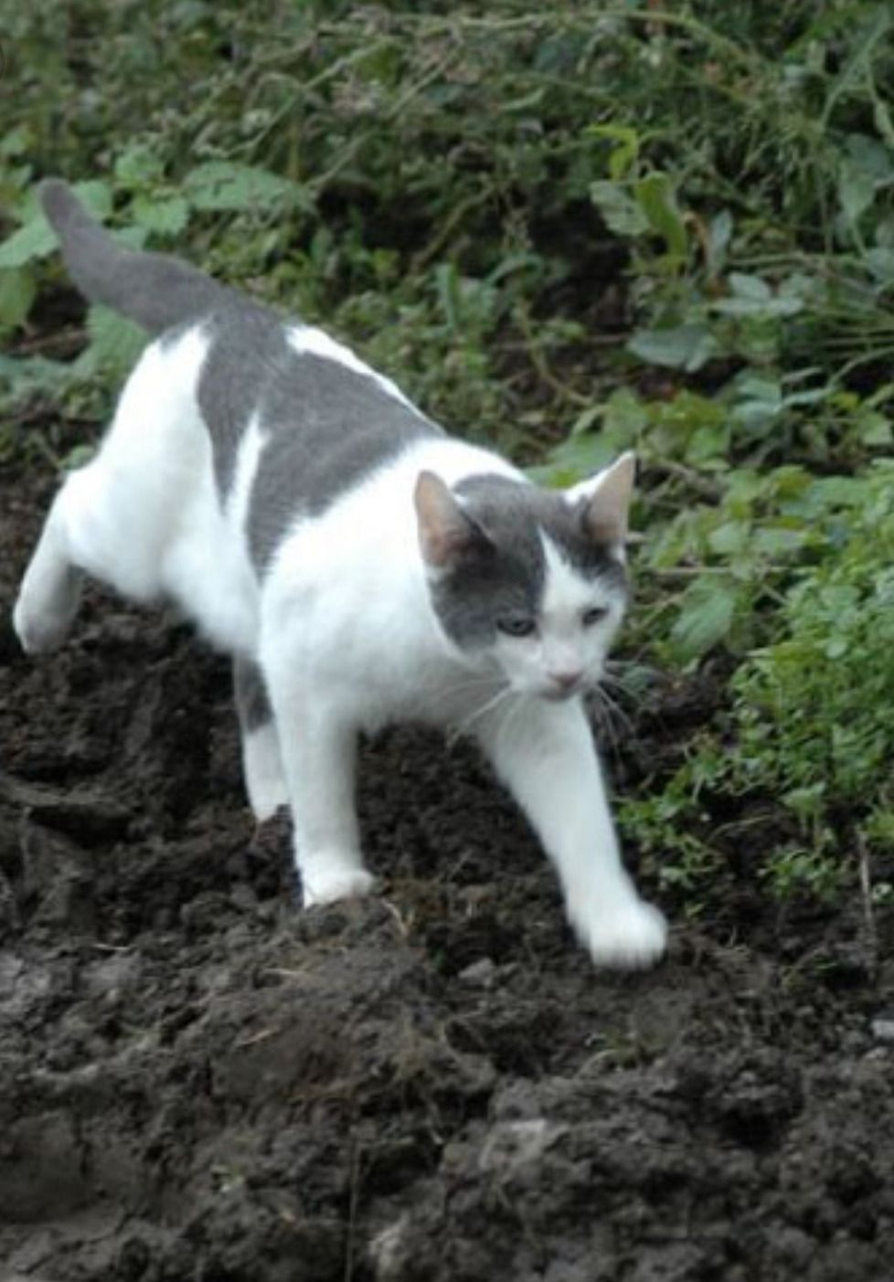 Pin By Alex Zaharia On Warrior Cats Grey And White Cat Spotted Cat Cats