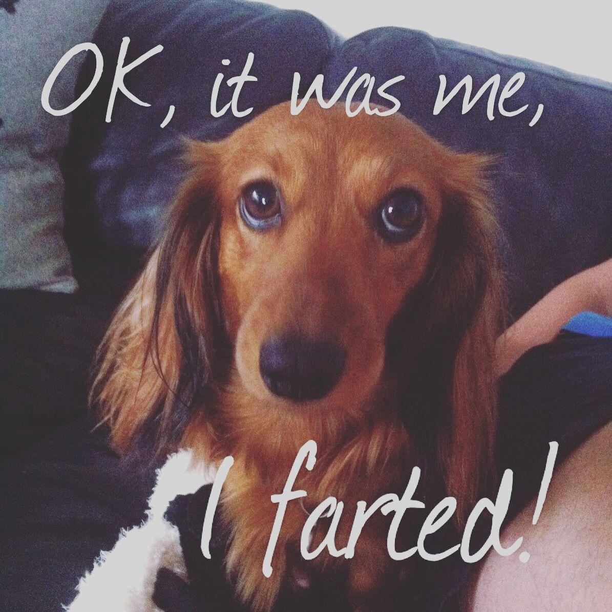 dachshund dackel teckel gravhund (With images