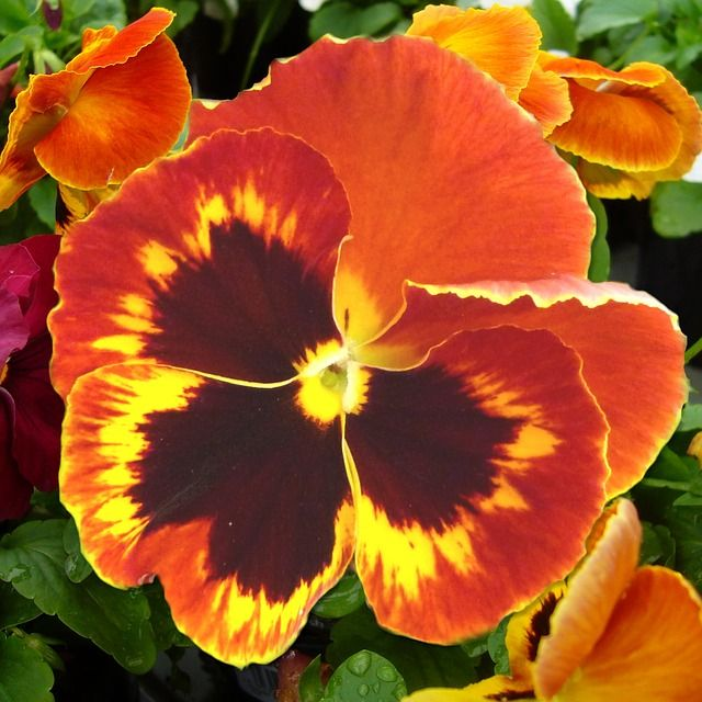 Bright Orange And Brown Pansy And A Great Post On The Benefits Of The Inner Smile For A Healthy Heart Read More Pansies Flowers Flower Seeds