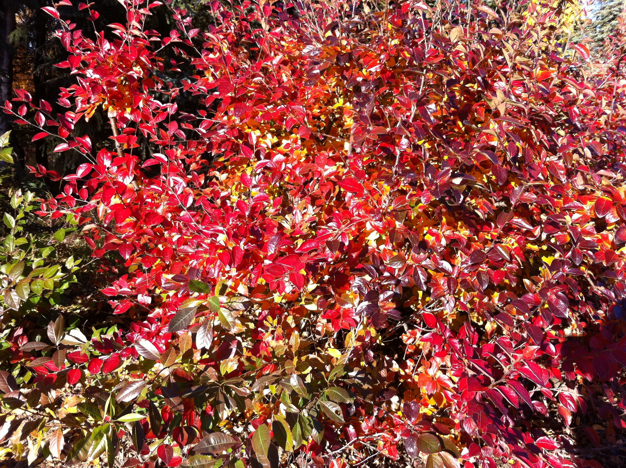 The Fiery Colors Of The Cotoneaster Lucidus Peking
