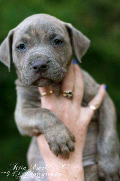 Snookie From Pit Bulls And Parolees Villalobos Rescue Center Blue Baby Love Xo Pitbull Terrier Pitbulls American Pitbull Terrier