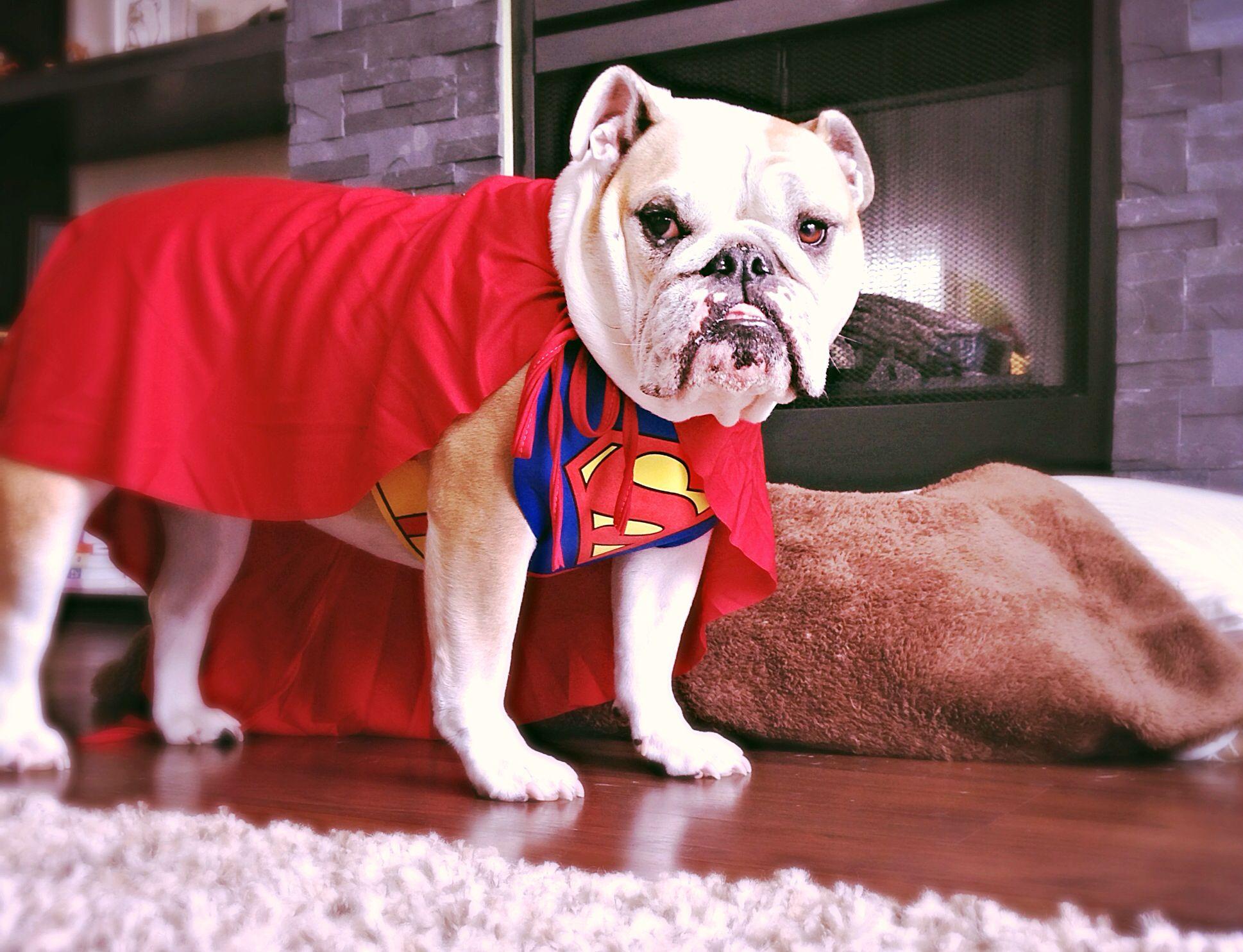 Superdog! English Bulldog in a Superman costume Love