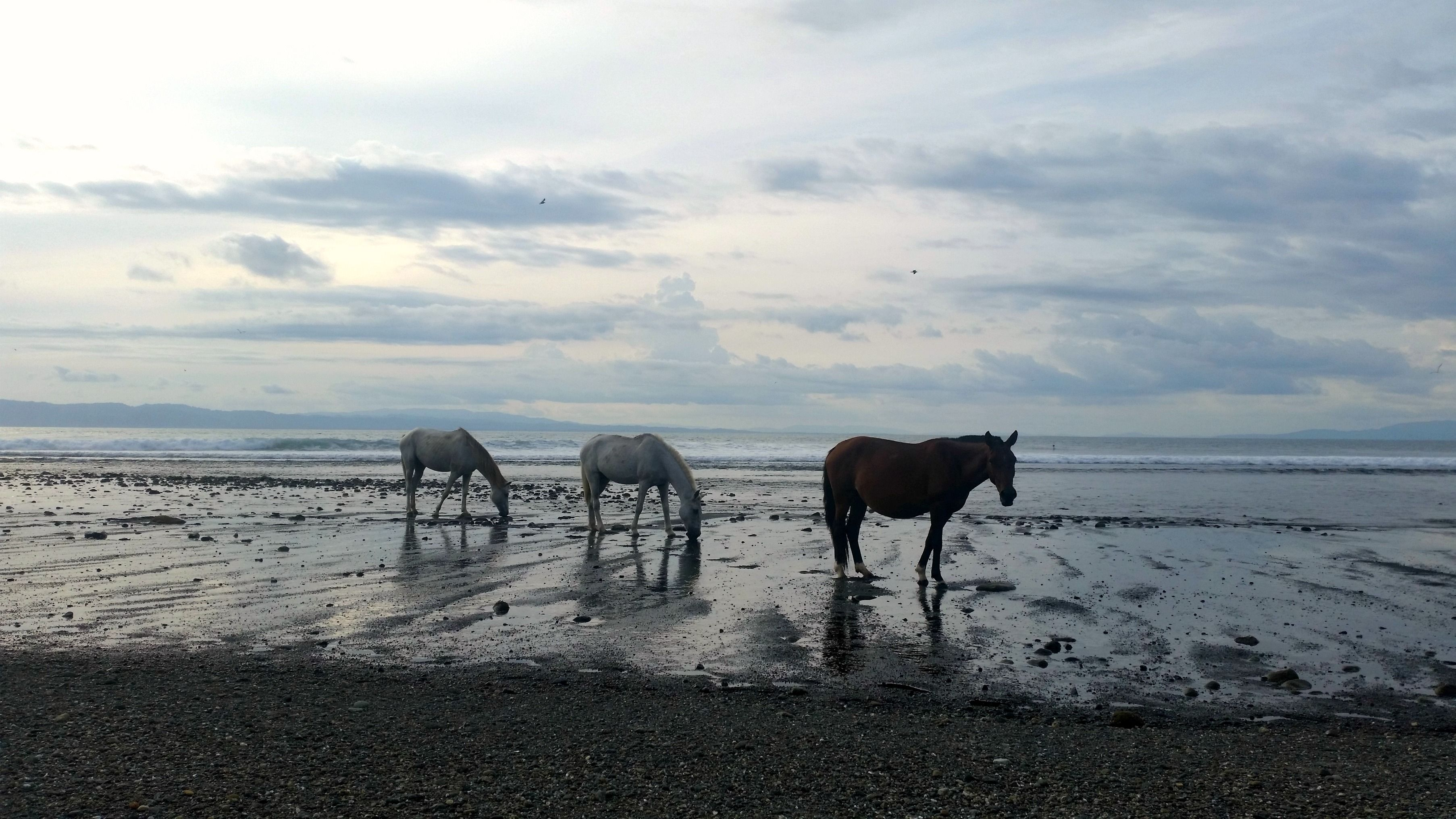 Wild horses on the beach in Pavones, Costa Rica... Such a beautiful sight! See more photos over on my blog: http://www.intrepid-introvert.com/costa-rica-in-photos/