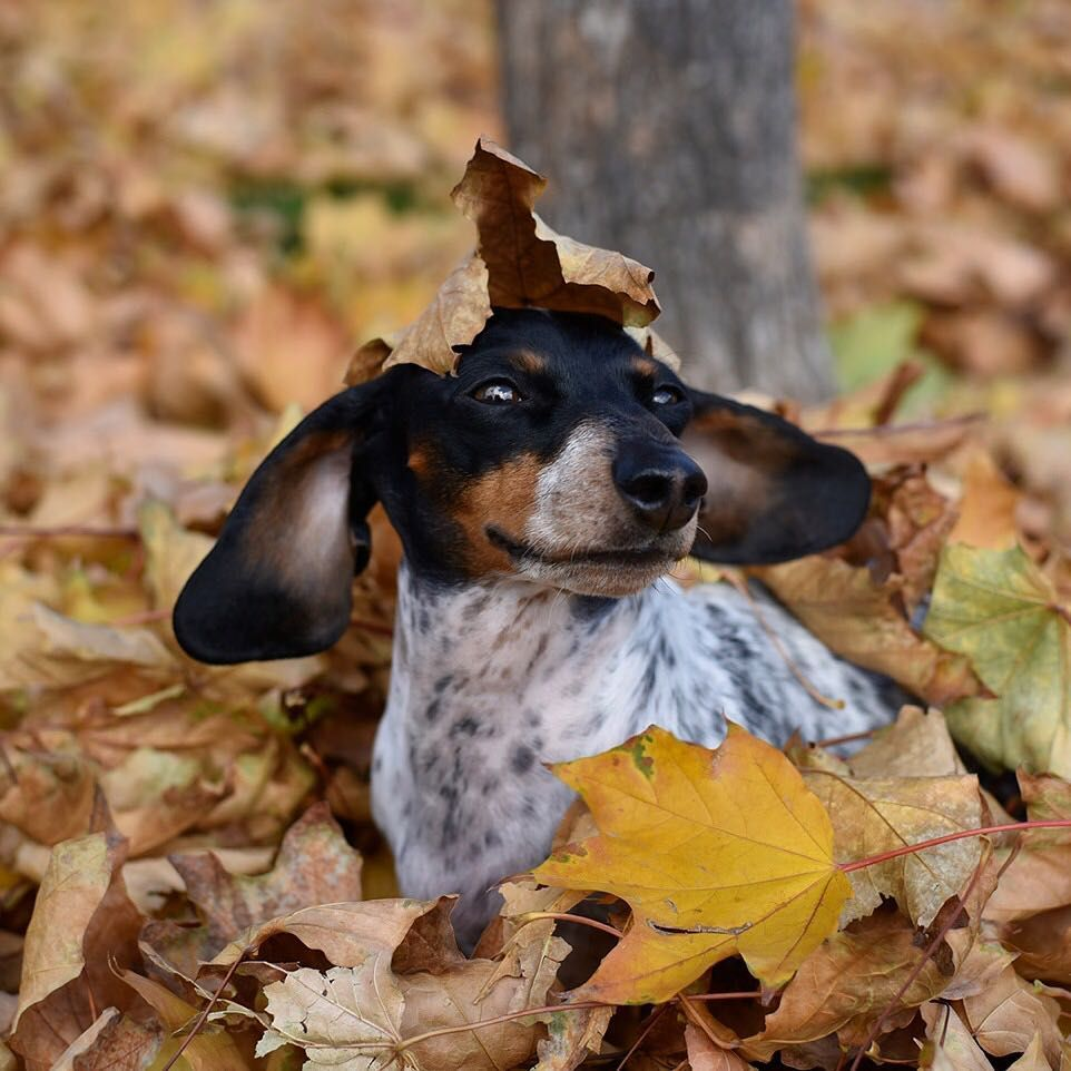 I Be Leaf I Can Fly Weenie Dogs
