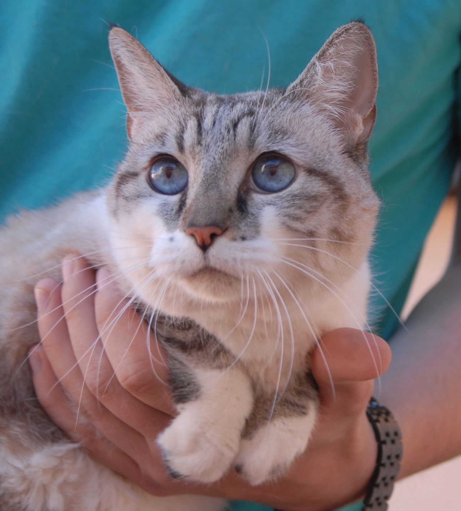 Shawna is a sweetheart, a Lynx Point Siamese mix