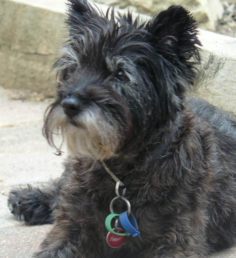 Scruffy Puppies Thread Lost Cairn Terrier Black Scruffy Female