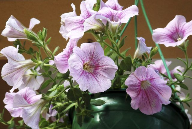 Are Petunias Annual Or Perennial Petunia Care Petunia Plant Petunias