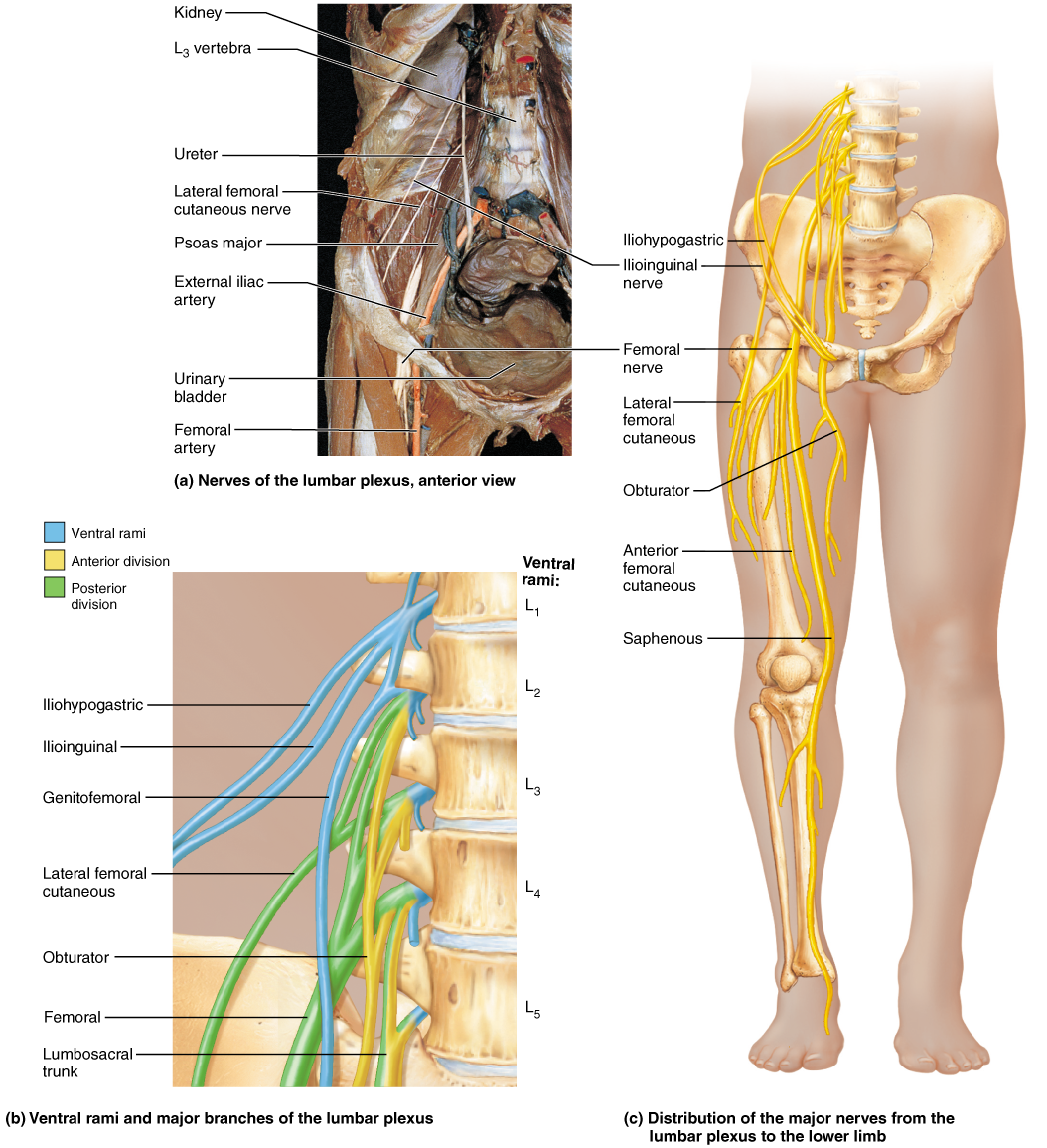 Leg Nerves Anatomy Image Collections Human Body Anatomy