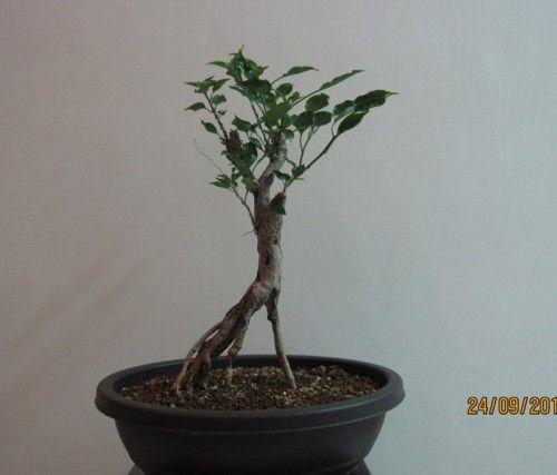 cultivar: buttiana 'Black India/Indian Beauty'