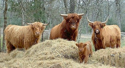 Our Scottish Highland herd (starred in Jack Black's movie ...