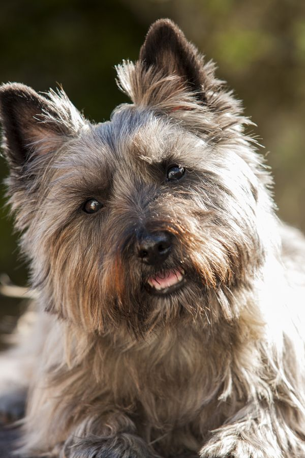 Cairn Terrier By Don Hooper Photo 167900591 500px Westie Terrier Cairn Terrier Terrier
