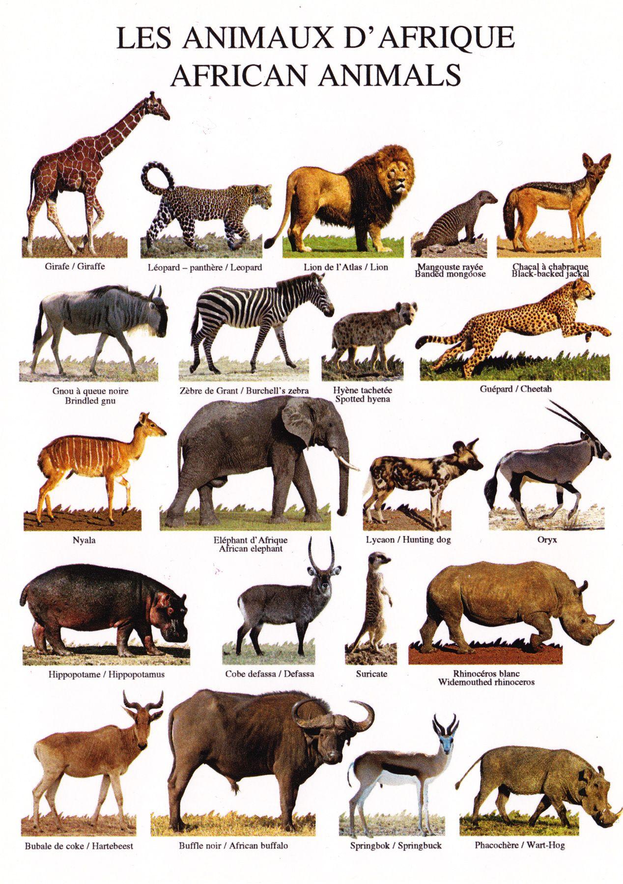 Tout Les Animaux D Afrique : animaux, afrique, African, Animals, Animaux, Afrique,, Animaux,, Dafrique