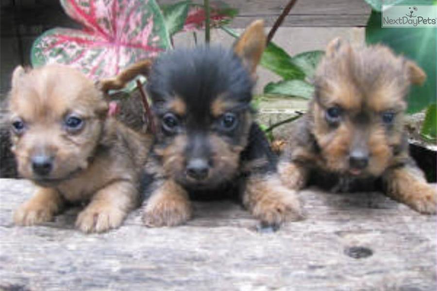 Meet Babies A Cute Australian Terrier Puppy For Sale For 700 Www
