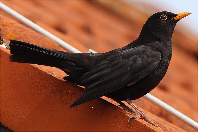 Pin Von De Groote Auf Pajaros Einheimische Singvogel Vogel Des