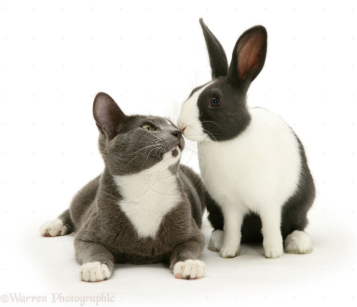 Blue Dutch Rabbit and Cat Dutch rabbit, Kitten pictures