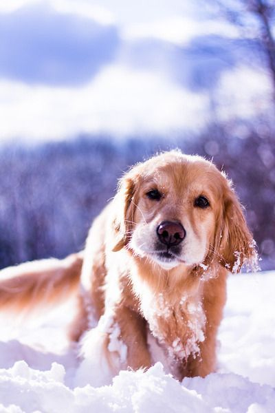 Beautiful Photo Of A Golden Retriever Walking In The Snow Dogs
