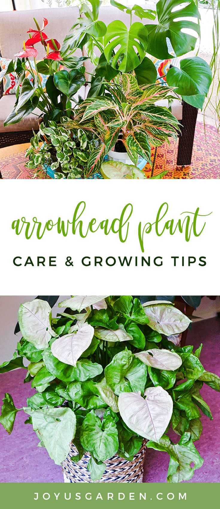 Arrowhead Plant Care and Growing Tips Arrowhead plant