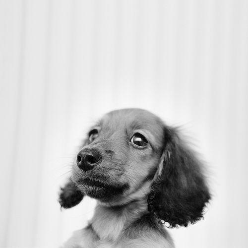 Lisa the Dachshund puppy Dachshund puppies, Dachshund