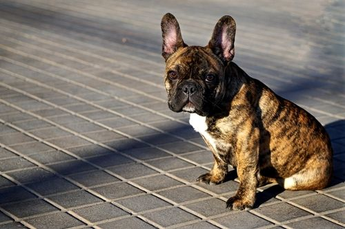 The Only Small Dog I Would Ever Consider Owning Brindle French