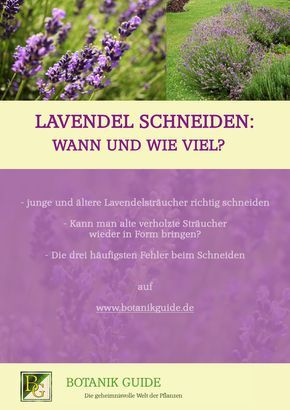 lavendel schneiden wann und wie viel garten lavendel schneiden lavendel und garten lavendel. Black Bedroom Furniture Sets. Home Design Ideas