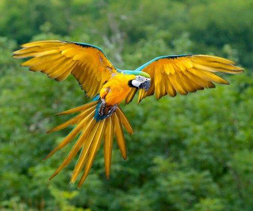 Guacamayo azul y amarillo - Amazonia peruana