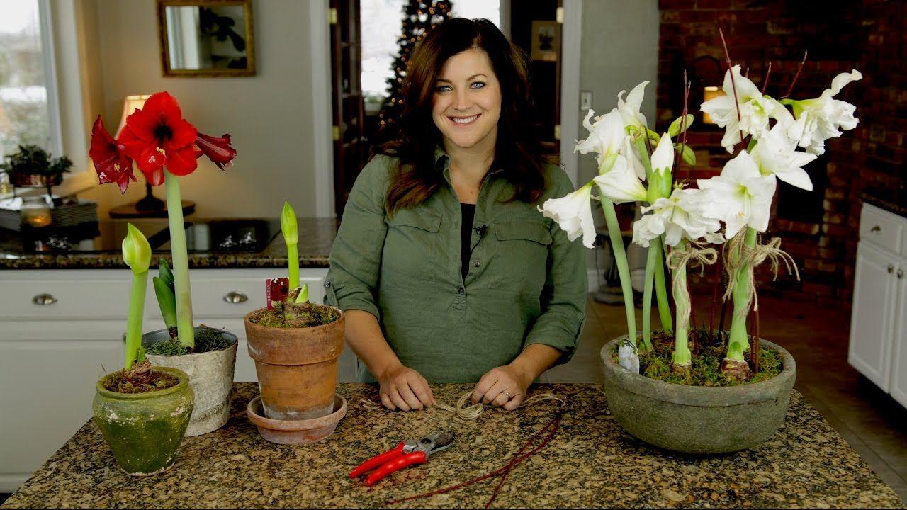Amaryllis update care tips garden answer amaryllis