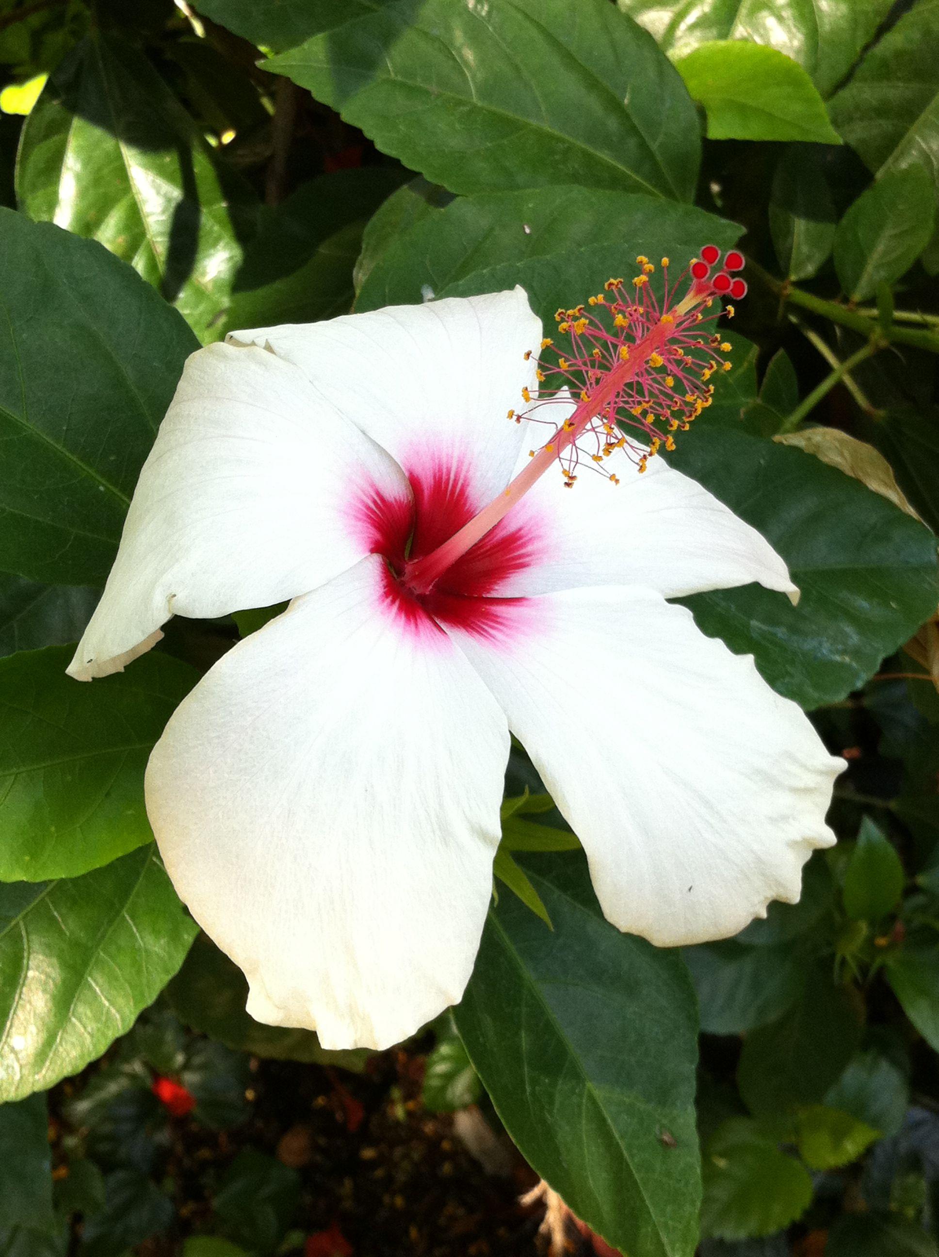 Schizopetalus and other rare hibiscus species green thumb schizopetalus and other rare hibiscus species izmirmasajfo