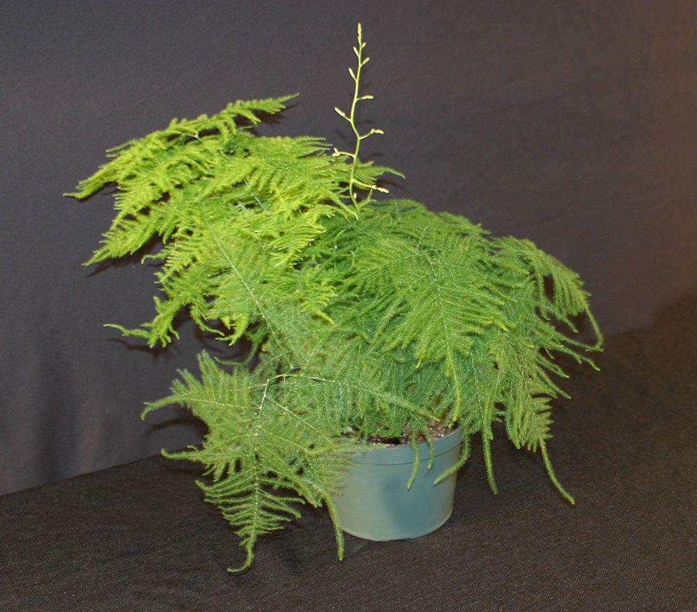 Asparagus Setaceus Common Name Asparagus Fern Посадка 400 x 300