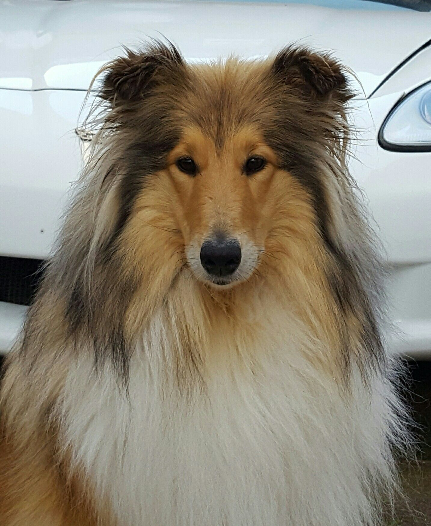 Collie Emma Vor Meiner Corvette C6 Rough Collie Collie Dog Collie