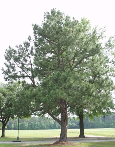 North Carolina State Tree State Tree Longleaf Pine Tree Trees To Plant Landscape