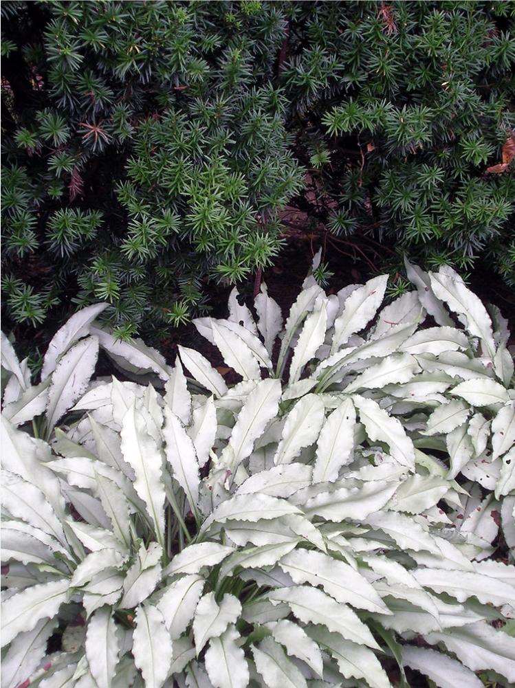 plante verte argentee