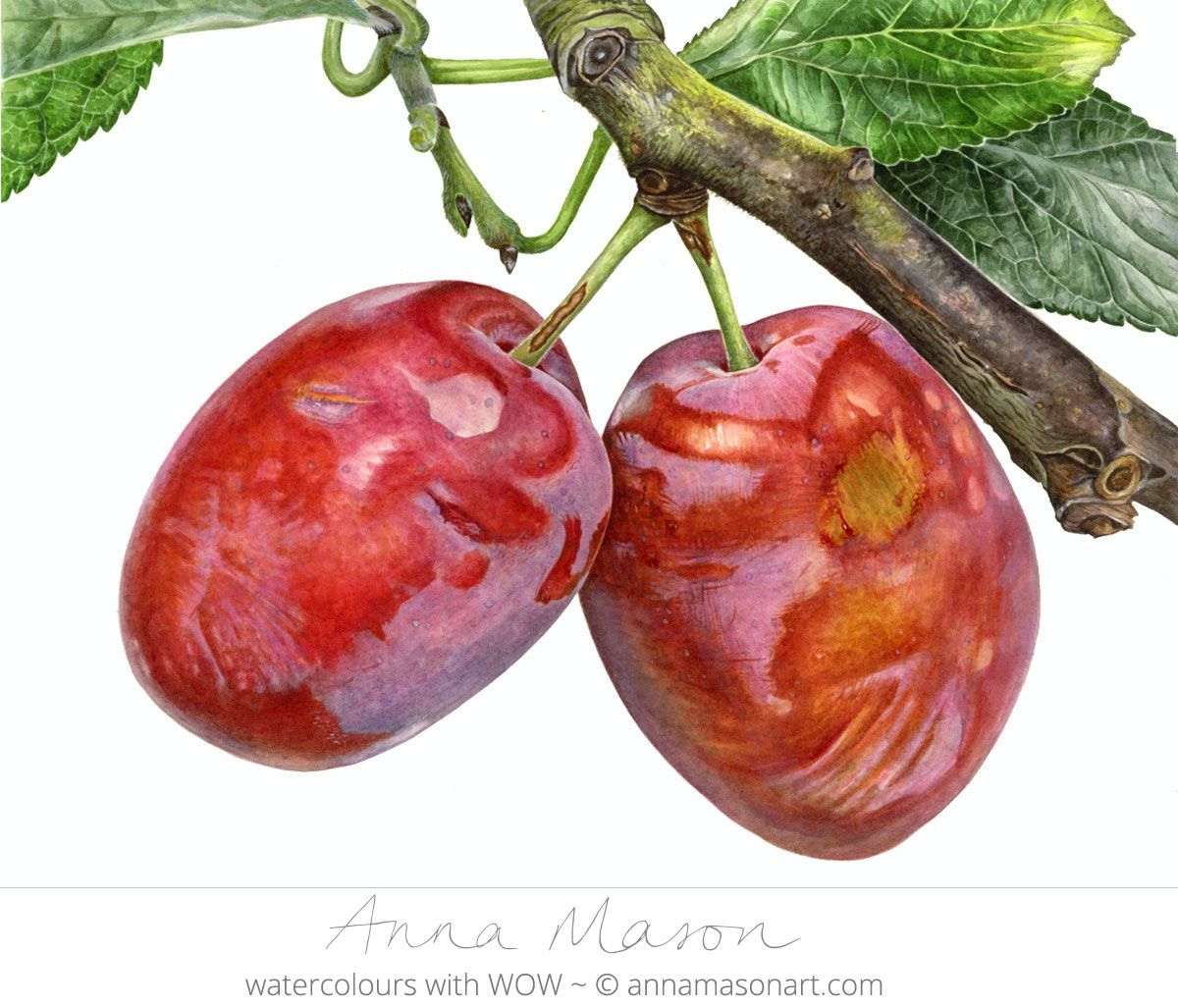 Plums By Botantical Artist Anna Mason