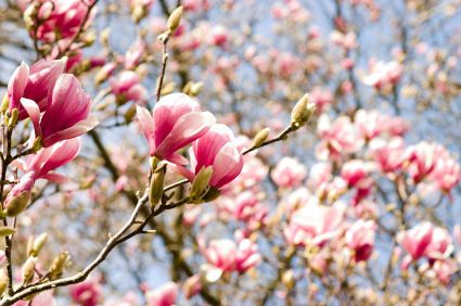 Types of trees with pink flowers image collections flower types of pink flowering trees images flower decoration ideas old magnolia tree the old magnolia tree mightylinksfo