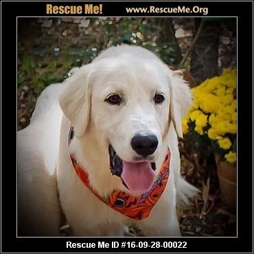 Texas Great Pyrenees Rescue Adoptions Rescueme Org Great