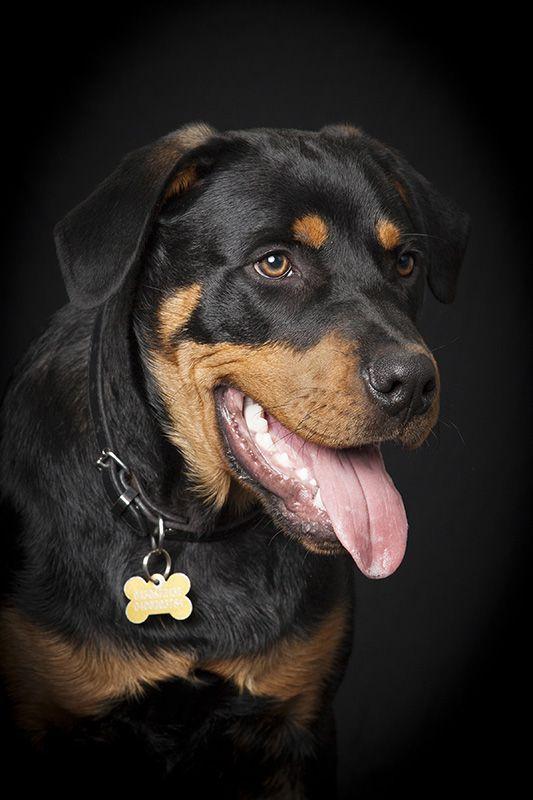 Detail Shot Of Rottweiler S Head Freedom Photography Studio Willagee Western Australia Rottweiler Dog Photos Sweet Dogs
