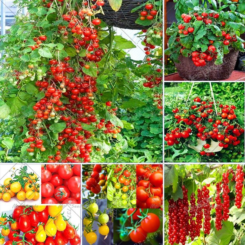 100Pcs Climbing Tomato Tree Seeds Fruit And Vegetable Seed 400 x 300