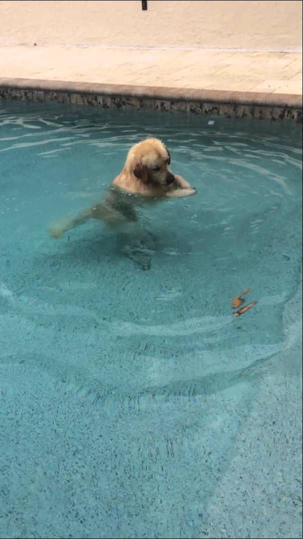 Golden Retriever Walks Upright In The Swimming Pool And Blows