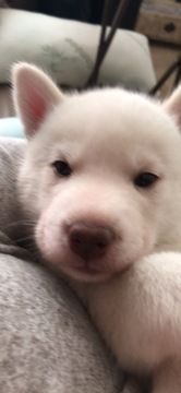 Litter Of 7 Siberian Husky Puppies For Sale In Houston Tx Adn