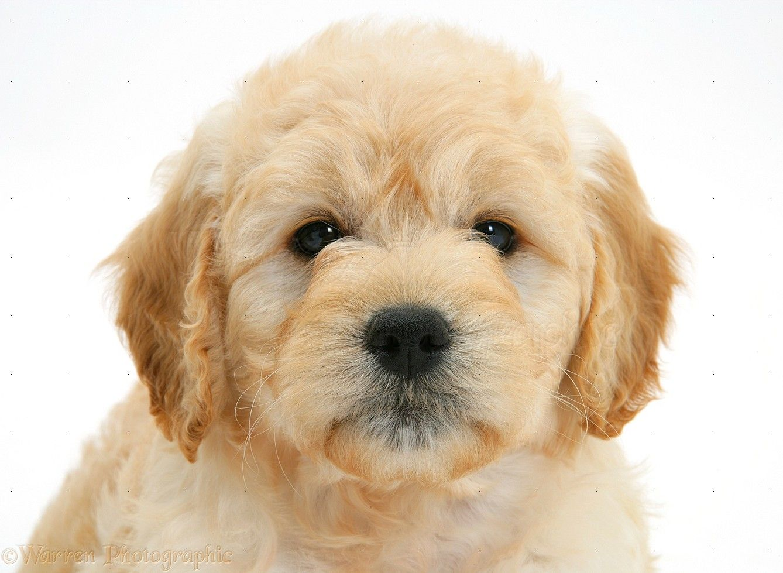 white miniature goldendoodle puppies