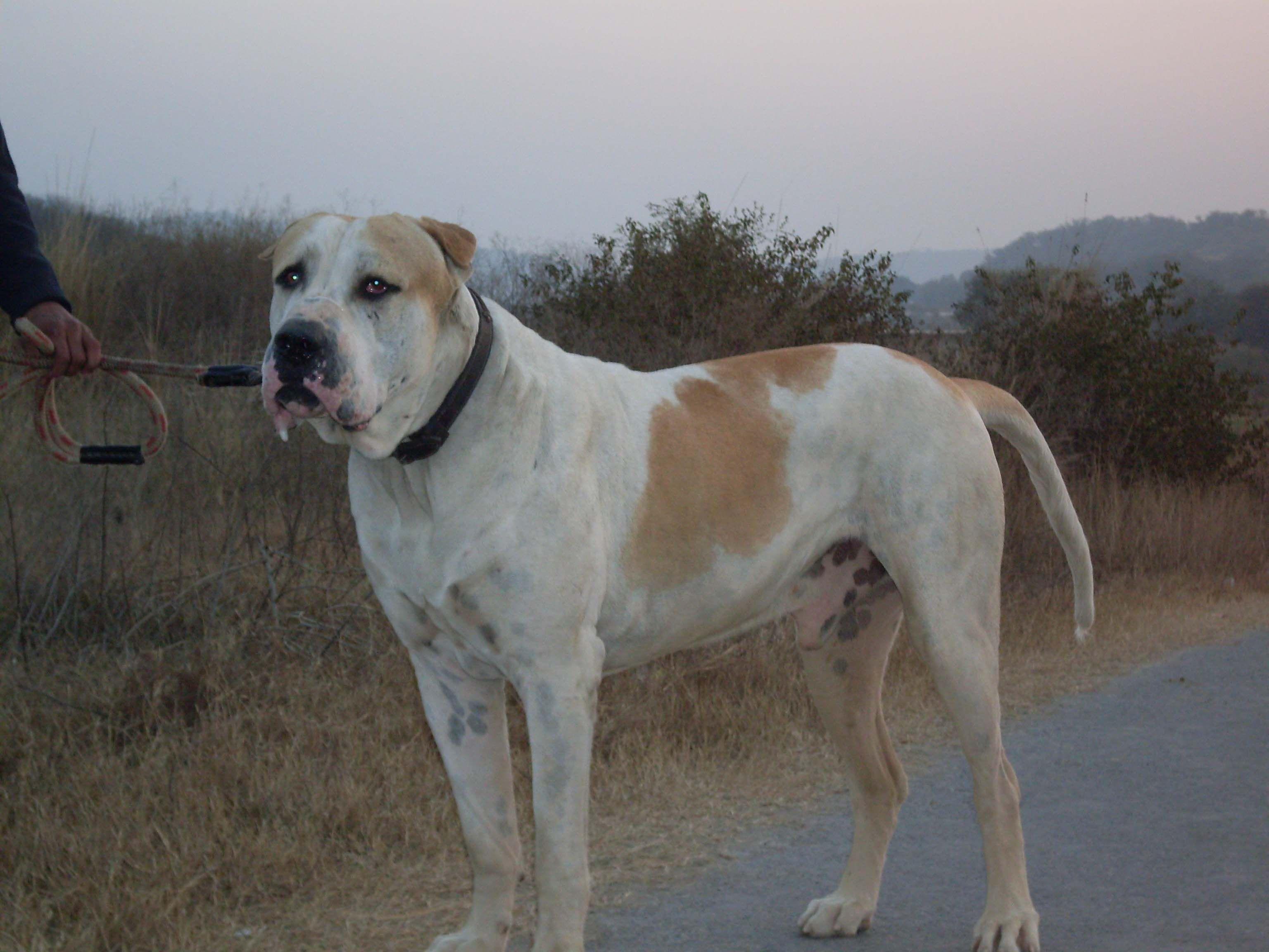 Pakistani Mastiff Google Search Large Dog Breeds Dog Breeds Dogs