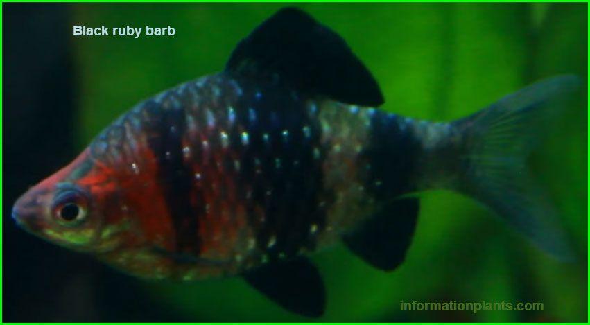 بارب اسود Black Ruby Barb سمك زينة انواع الاسماك معلومان عامه معلوماتية نبات حيوان اسماك فوائد Black Ruby Fish Pet Fish