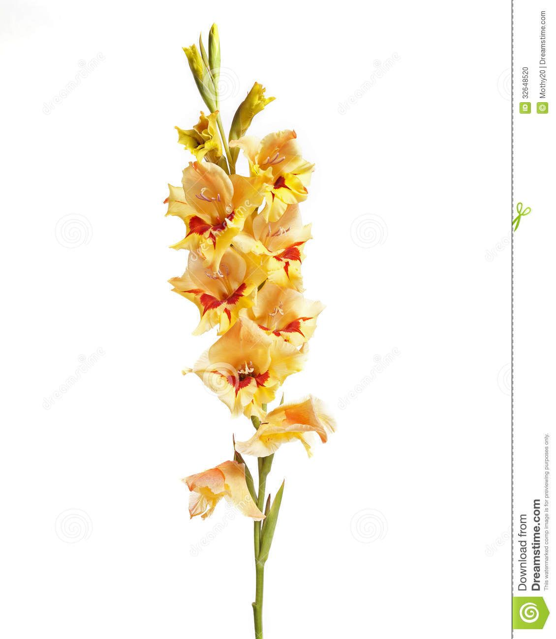 Single Gladiolus Gladiolus Flower Wallpaper Rose Wallpaper