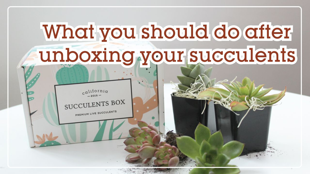 What you should do after unboxing your succulents  #succulents #careguide #succulentscareguide #shipping #succulentsshipping #succulentpackage #plantmail #succulentcare #plantcare #plantingsucculents #plantcareguide #unboxing #shipping #unboxingsucculent #subscriptionbox #subscriptionboxunboxing #christmas #christmasgift #christmasgiftideas